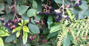 connemara Blackberries